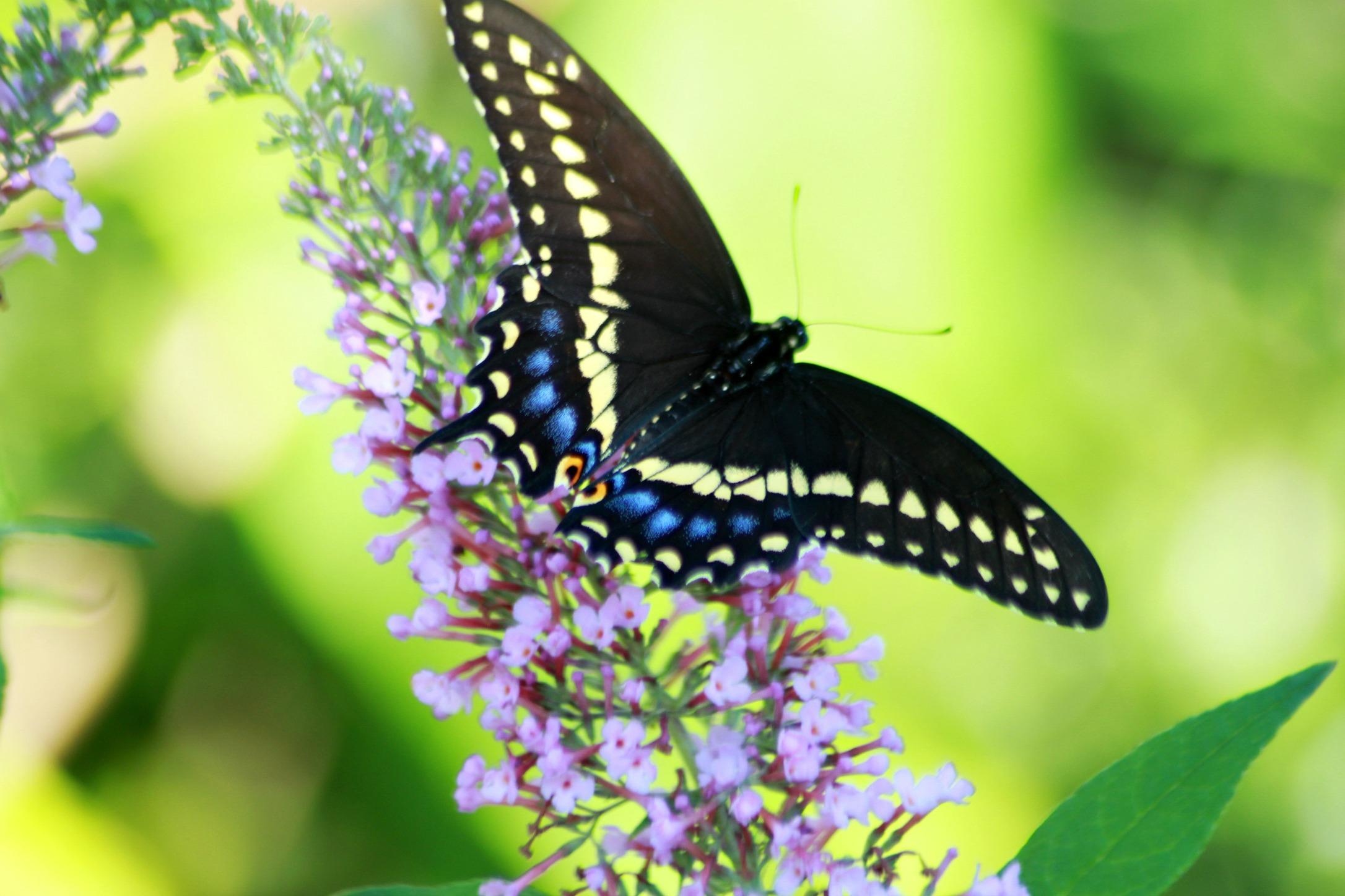 Eastern Black Swallowtail Caterpillar | Grateful Prayer ...