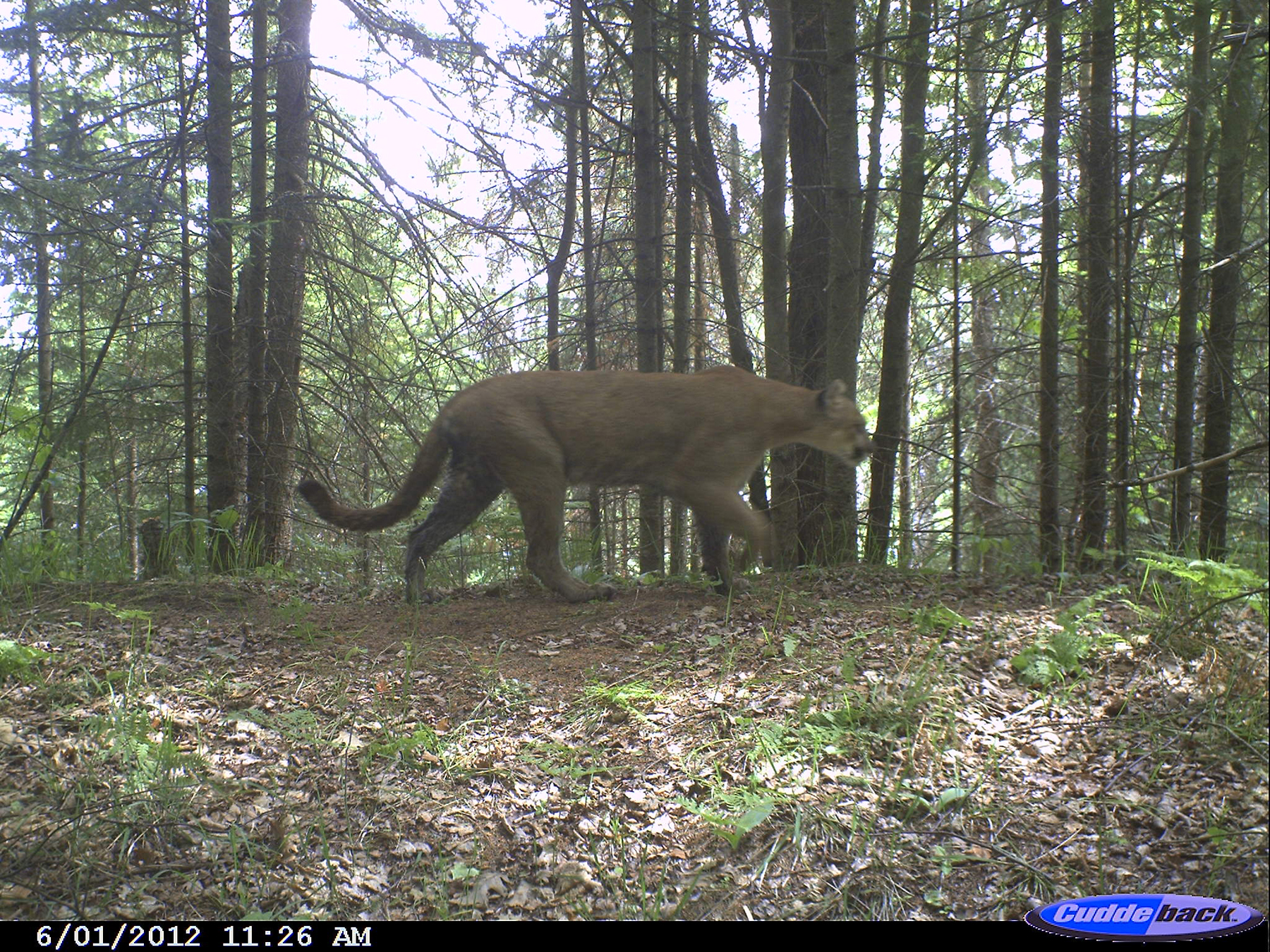 Wild Cougars Indiana