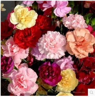 China Cut Flowers Carnation  China Cut Flowers Carnation Shopping     Cut carnation flower color package potted flowers flowering plants can be  broadcast four seasons 30 capsules