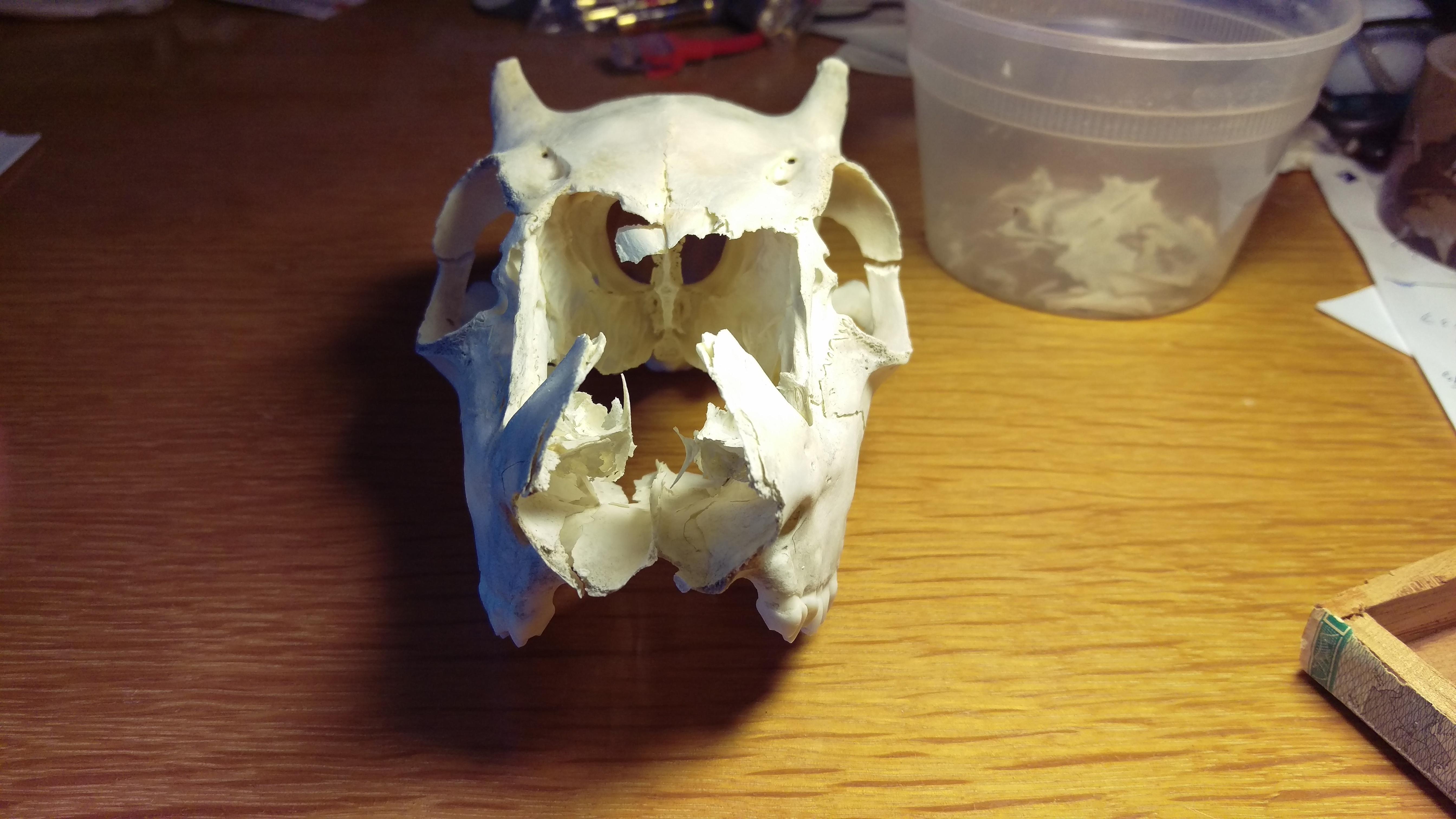 Things that I Possess: Juvenile Deer Skull (Odocoileus ...