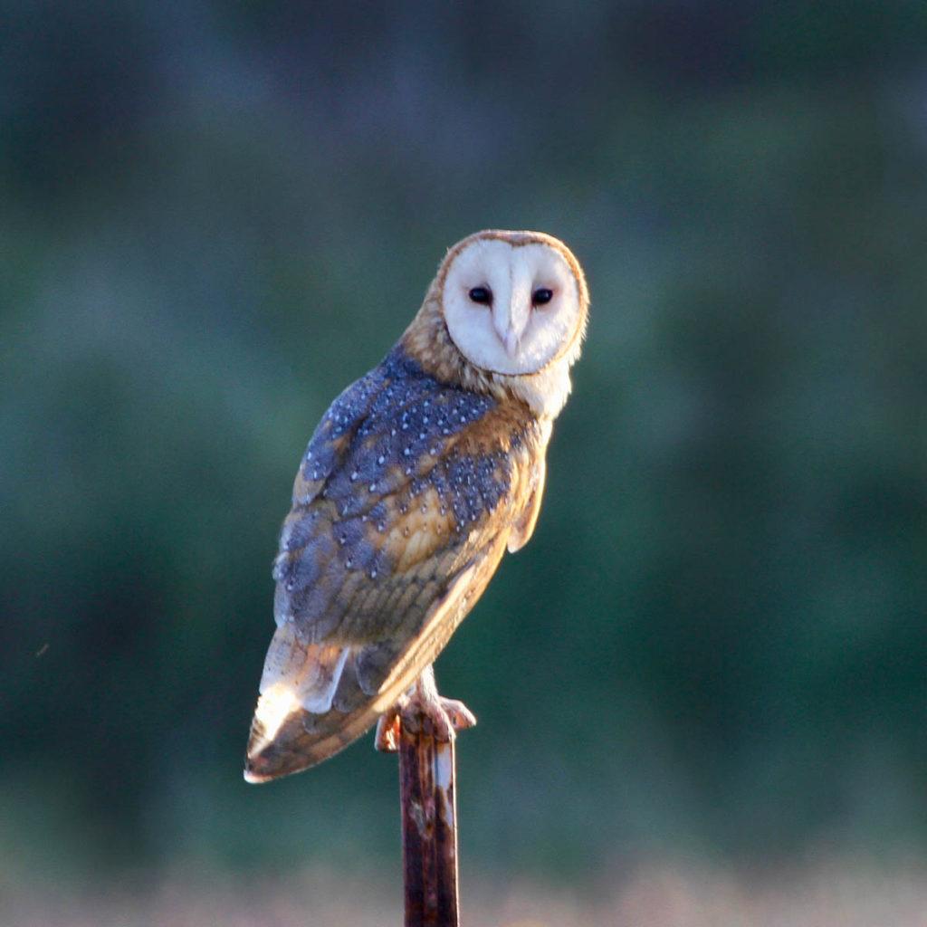 Hawaiʻi Birding Trails | barn owl