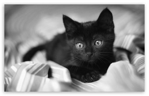 Kitten Black Wallpapers Desktop