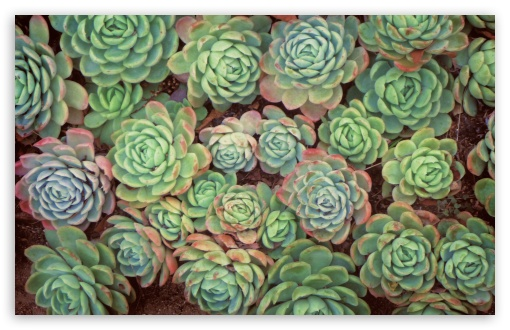 Succulent Plants Definition