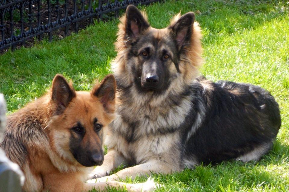 Tan German Shepherd Dog Christmas