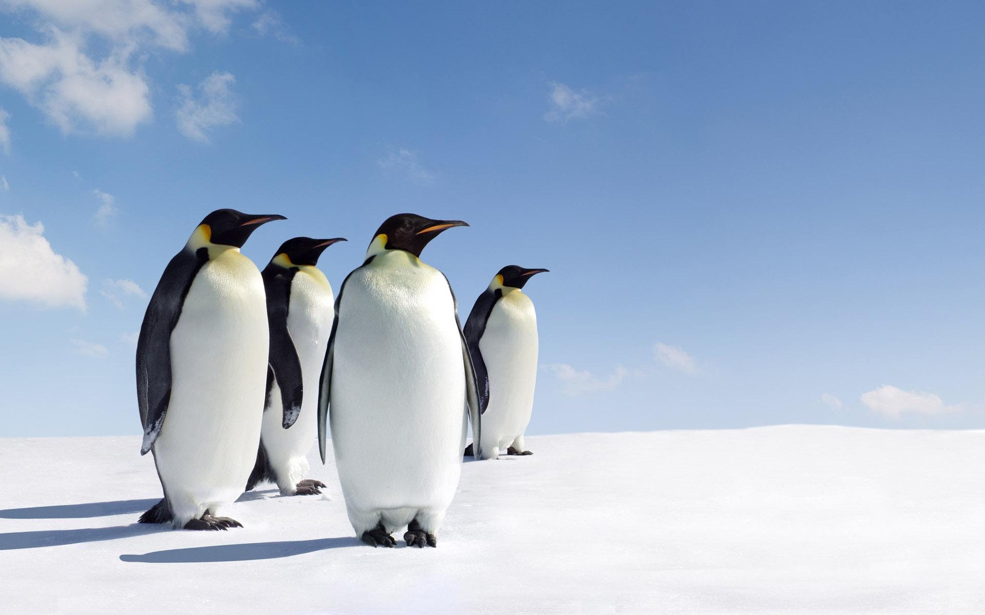 Background Screensavers Penguin