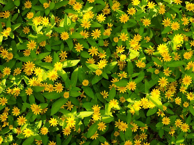 Yellow Flowers By Name 10 Desktop Background   HdFlowerWallpaper com Yellow Flowers By name Free Wallpaper