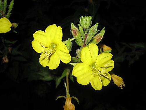 Yellow Flowered Shrub Crossword Clue