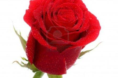 Single Red Rose Wallpaper Free Download Vinny Oleo Vegetal Info