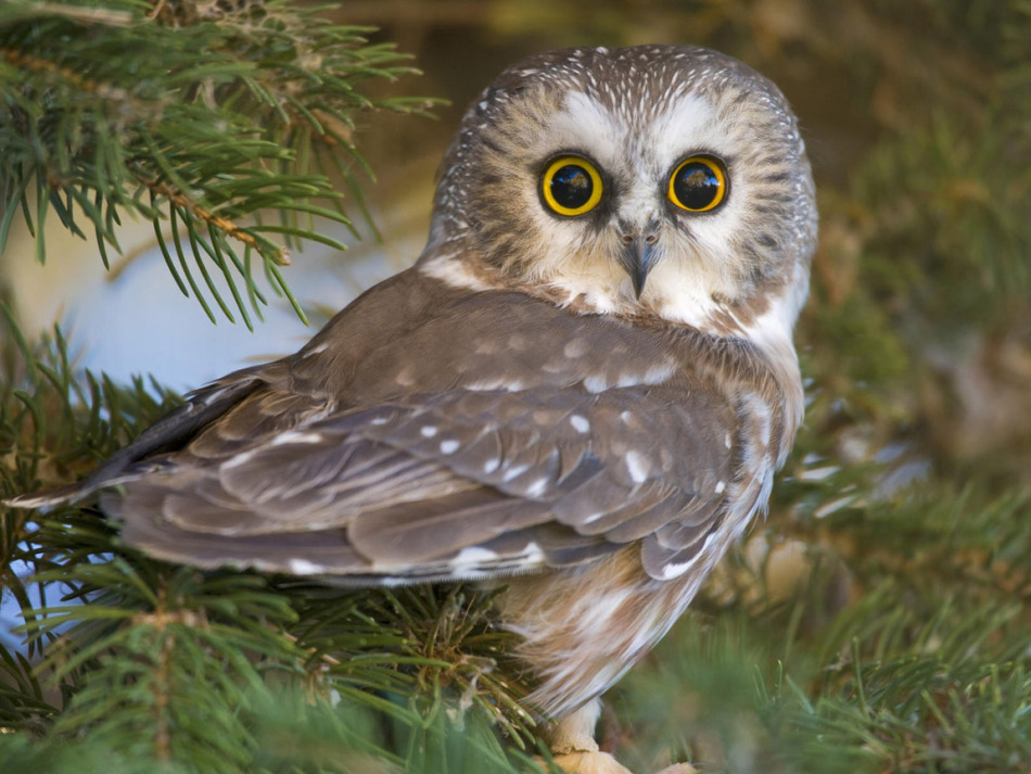 Owl - Түнгі құс
