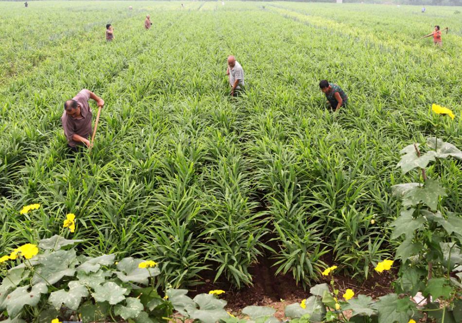 Ginger plantation