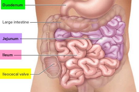 Large Intestine Location And Function Hd Images Wallpaper For