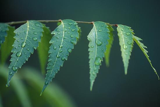 Top Benefits Neem Leaf Ariveppila Indian Lilac