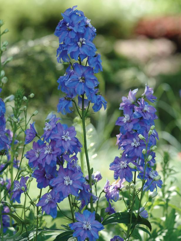 10 Bonny Blue Plants and Flowers   HGTV Photo By  PanAmerican Seed