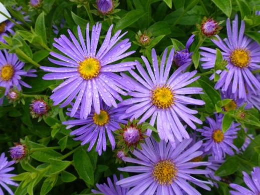 Aster  Our Favorite Flowers   HGTV Aster  Our Favorite Flowers