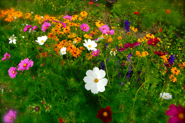 Sowing Up Cosmos Seeds In April Higgledy Garden
