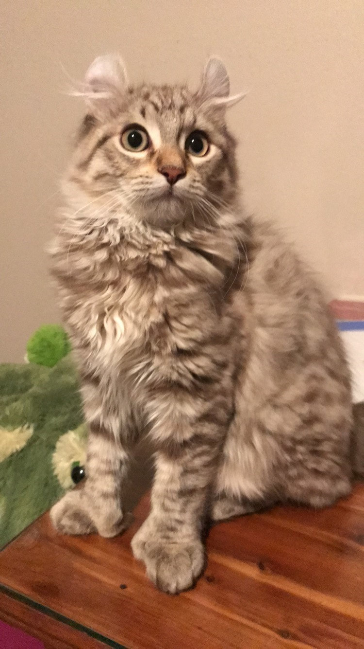 Highland Lynx Cats And Kittens Home