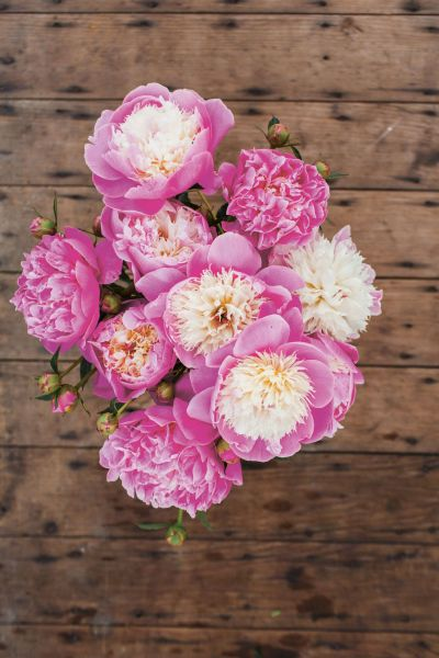 How to Grow Peonies   How to Care for Peonies image