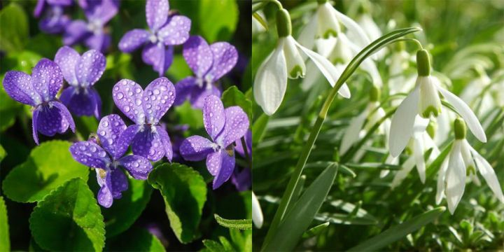 7 wild flowers to spot in early spring violet snowdrops flowers spring