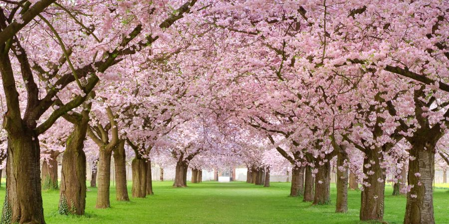 20 Cherry Blossom Tree Facts   Things You Didn t Know About Cherry     cherry blossom trivia fun facts