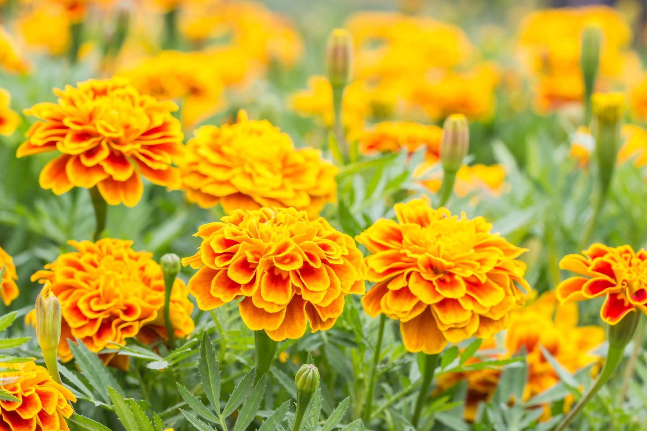 How to Grow French Marigolds   Planting Marigolds in Your Garden