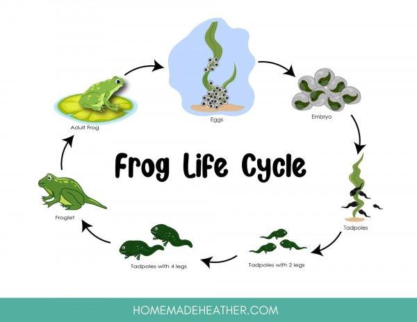 Frog lifecycle printable
