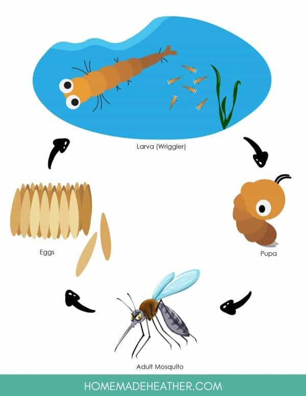 Free Mosquito Life Cycle Activity Printables