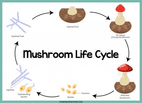 Mushroom Lifecycle Printable