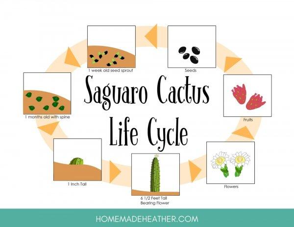 Cactus Life Cycle Printable