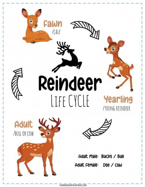 Reindeer Lifecycle Printable