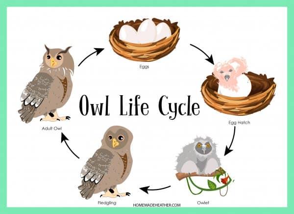 Owl Life Cycle Printable