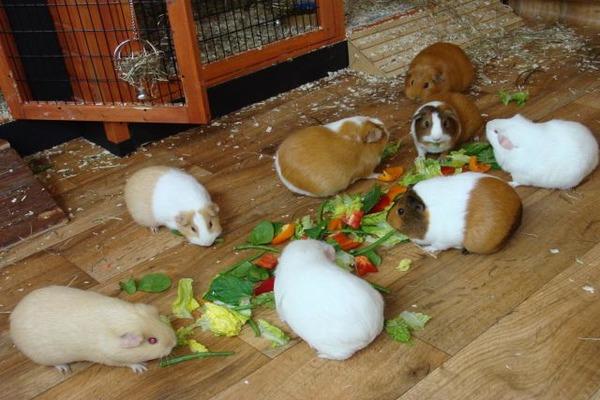 Husdjur under mat