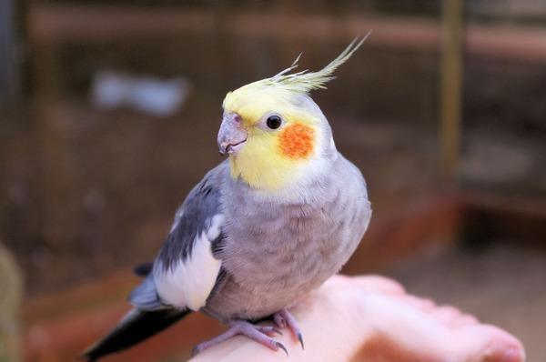 Chúng tôi dạy chim lặp lại
