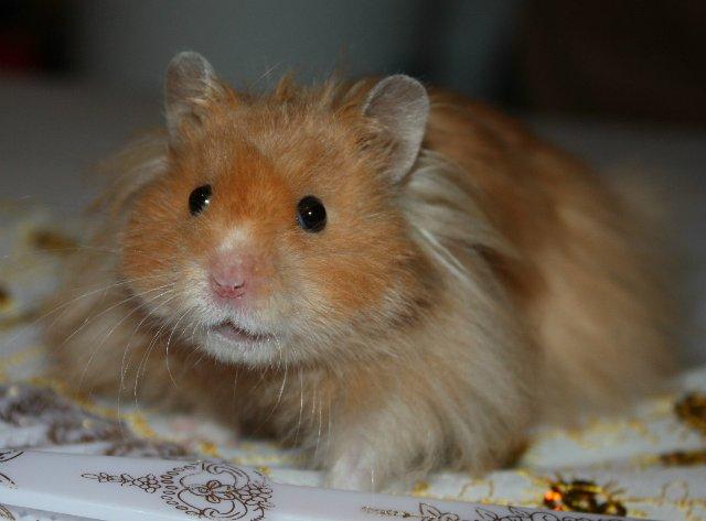 Сирия «Royal» Hamster