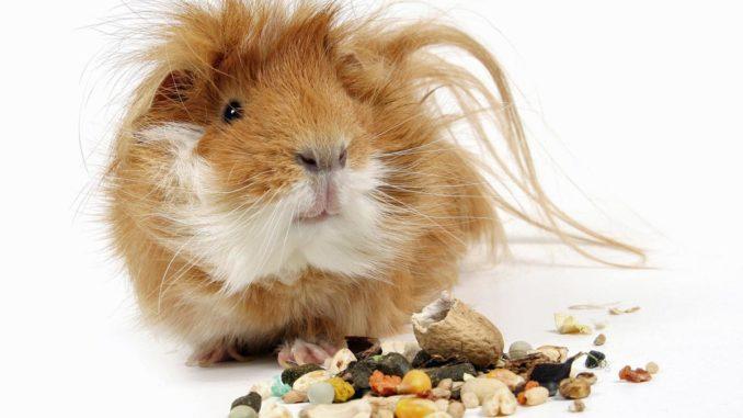 Guinea Pig och Industrial Feed