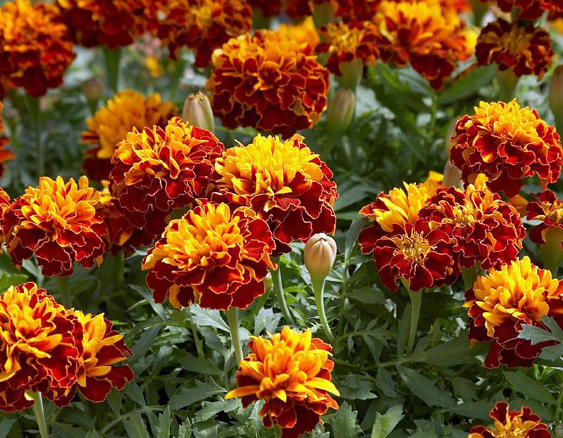 The Different Types of Marigold Flowers Available in the USA Bonanza French Marigolds