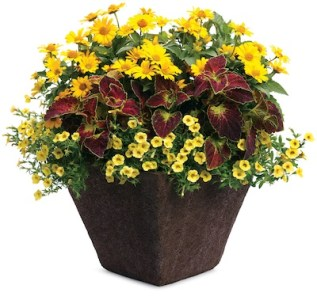 Tips for keeping flower pots blooming   Hoosier Gardener Deadheading perennials and trimming back million bells  petunias and other  annuals keeps plants blooming and