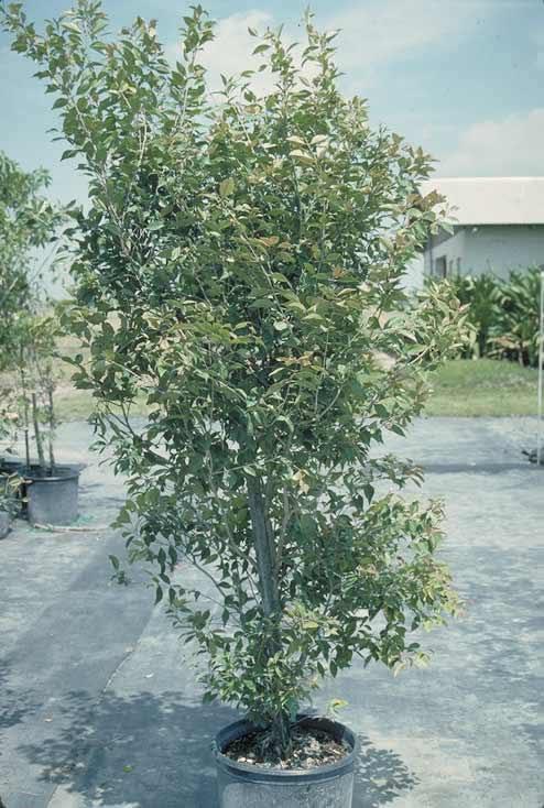 Spicewood Tree Selection Landscape Plants Edward F