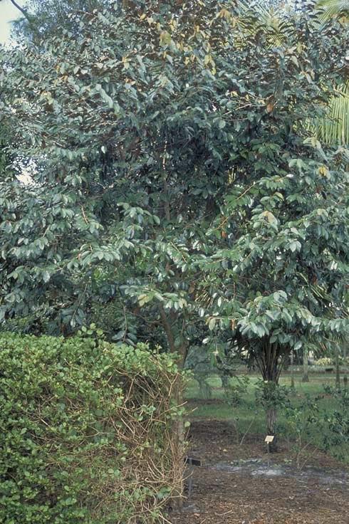 Satin Leaf Tree Selection Landscape Plants Edward F Gilman Uf Ifas