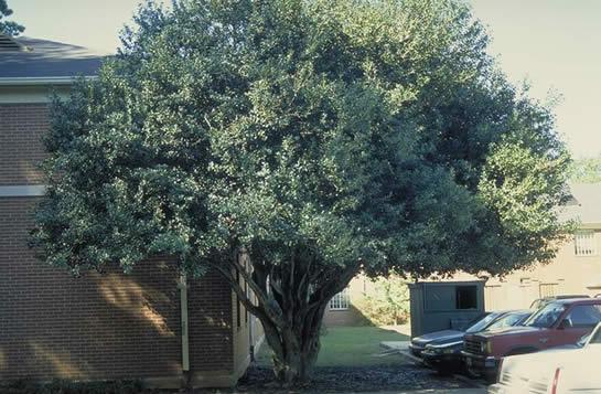 Burford Holly Tree Selection Landscape Plants Edward