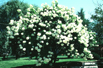 Summer Flowering Trees  Shrubs and Vines     Wisconsin Horticulture