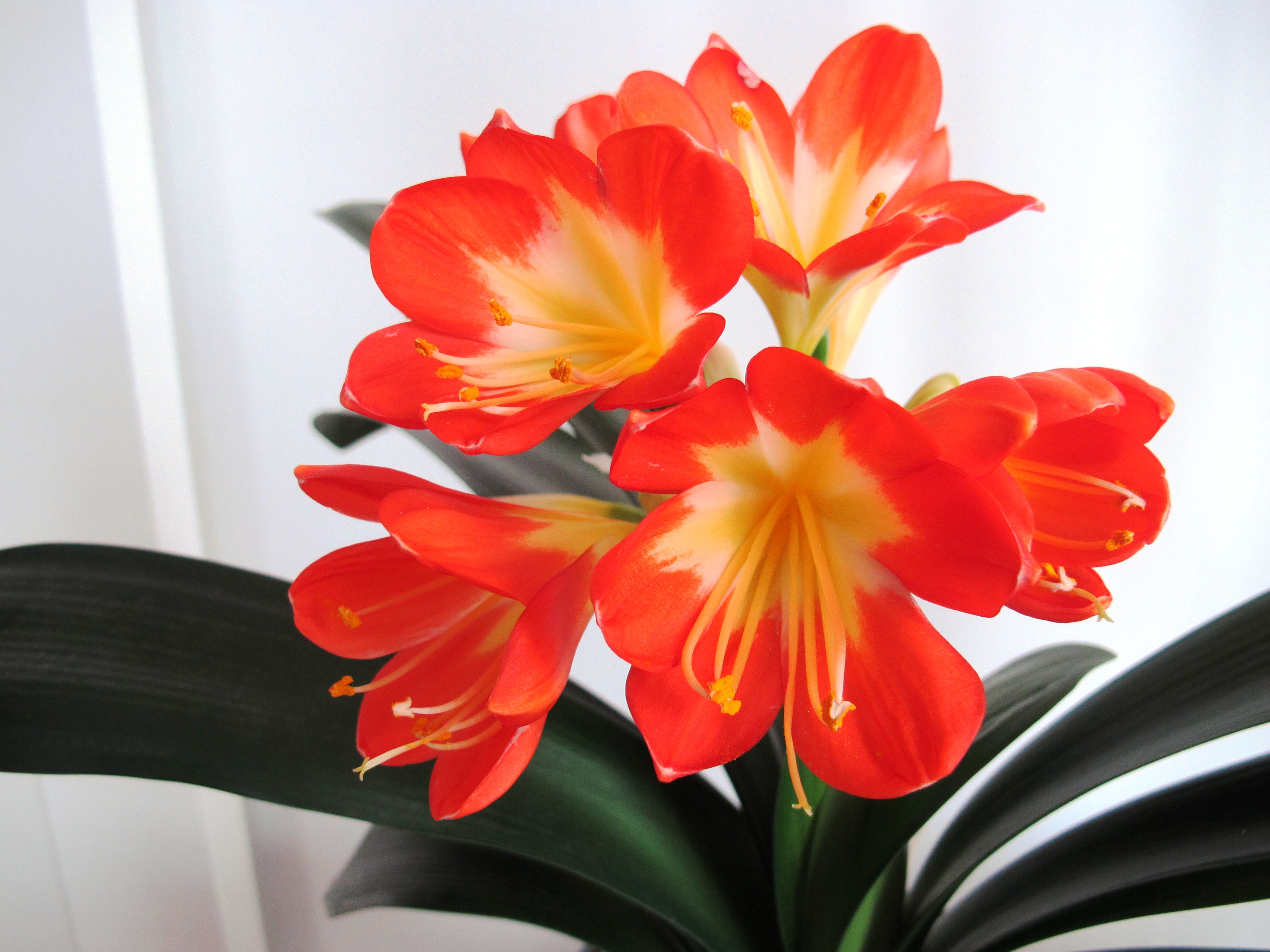 Best Kitchen Gallery: Charming Chinese Clivias Houseplants Now of Orange Tropical Flowering House Plant on rachelxblog.com