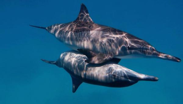 تزاوج وتربية الدلافين: كيف تتكاثر الدلافين؟