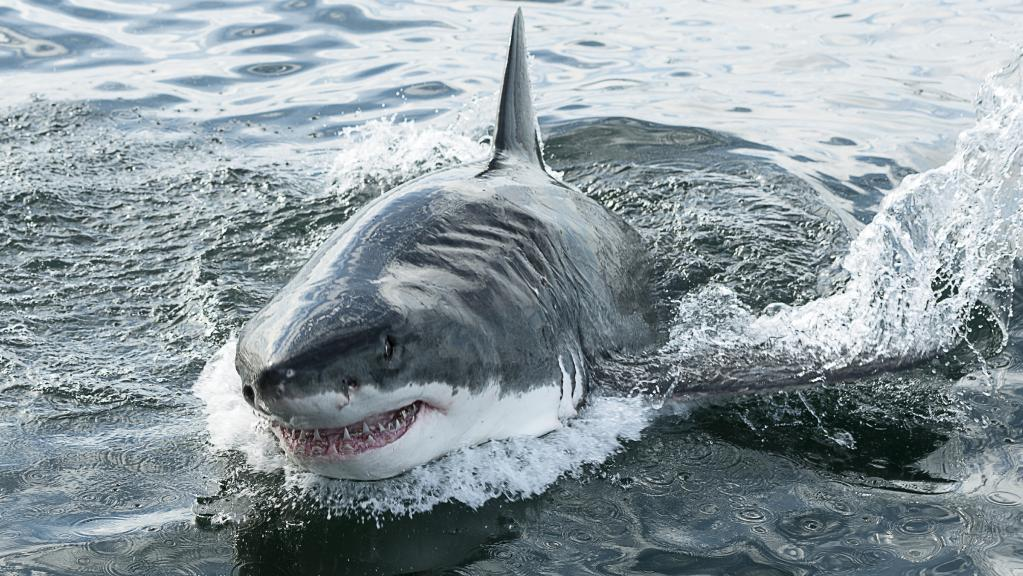 What Do Sharks Eat Fish