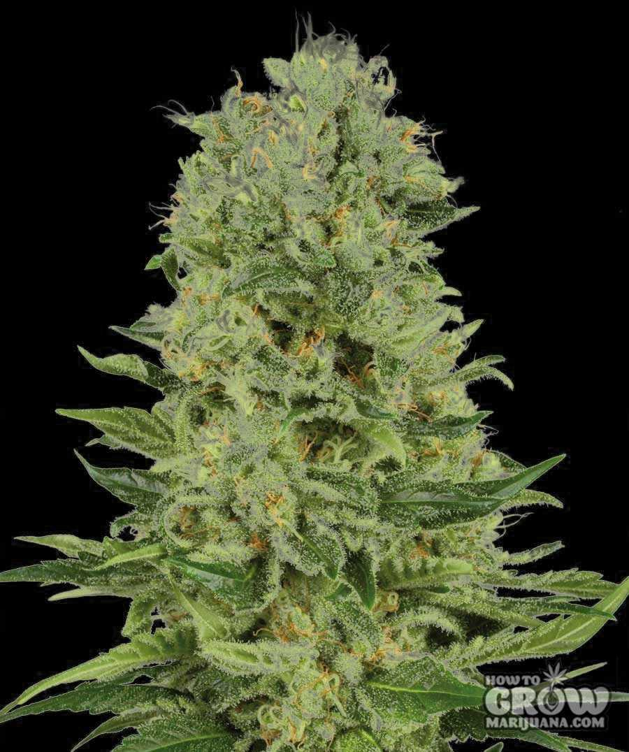 Lights Weed Northern Blue