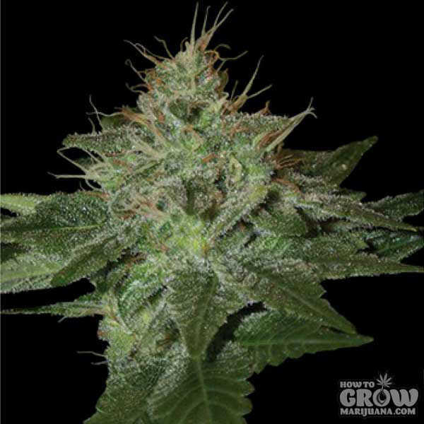 Blue Northern Lights Weed