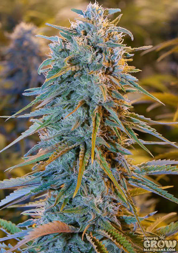 Northern Lights Cannabis Plant