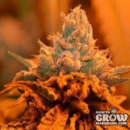 Led Lights Growing Weed