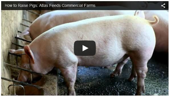 Pig Natural Ventilation