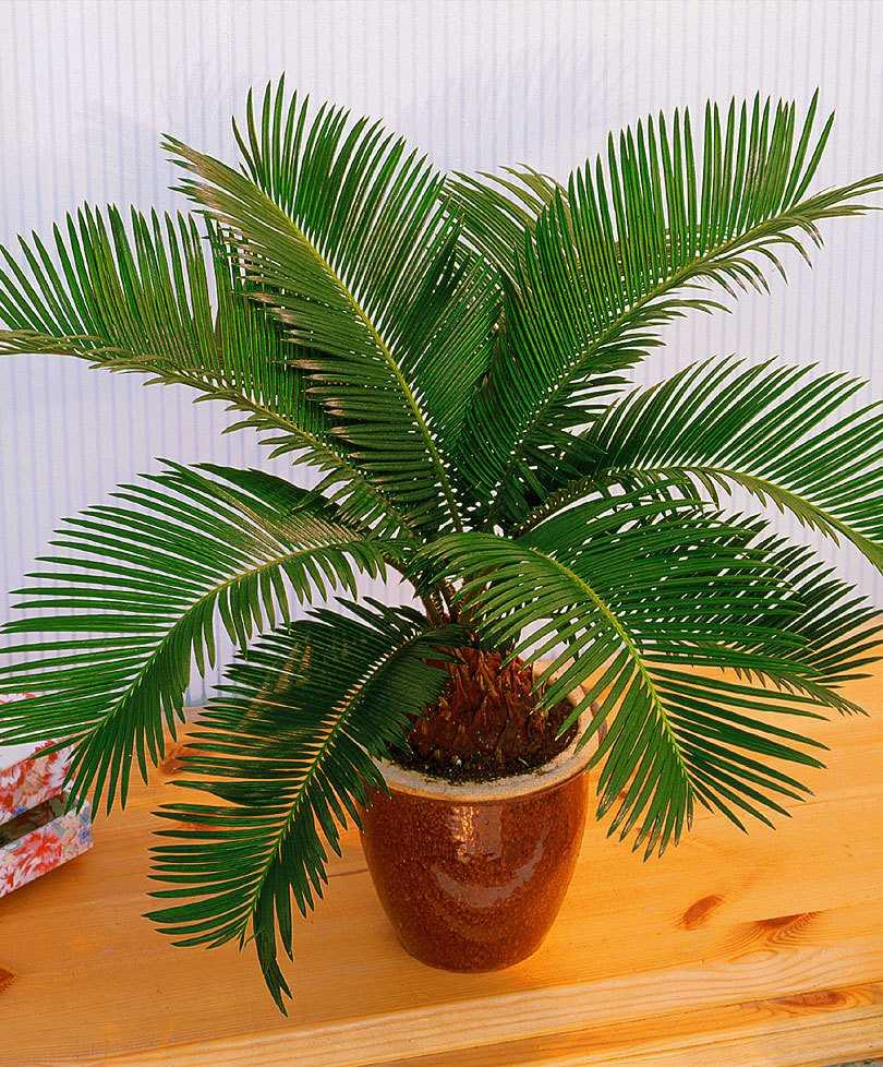 komnatnaya-palma-foto-video-vidy-palm-nazvanie-i-opisanie-rasteniya-73