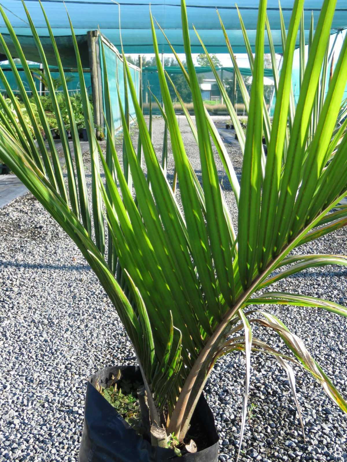 komnatnaya-palma-foto-video-vidy-palm-nazvanie-i-opisanie-rasteniya-25